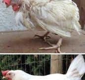 What Stress Does To A Chicken