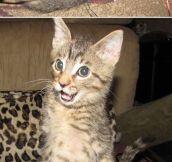 Ever Heard Of The T-Rex Cat?