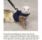 Perfect Description Of A Ferret