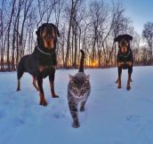 A Cat With Rottweiler Bodyguards