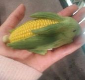 The Rarely Seen Corn Bunny