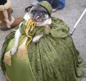 Fabulous Pug