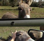 Mini Chasing Donkey
