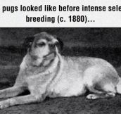 Pugs Of The Past