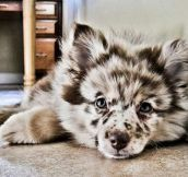 This Is An Australian Shepherd Husky Puppy