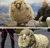 Meet Shrek, The Furriest Sheep Ever