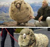Meet Shrek, The Furriest Sheep Ever