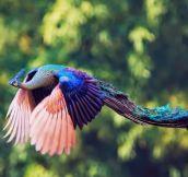 Majestic Peacock In Flight