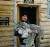 Lynxes Are Gorgeous