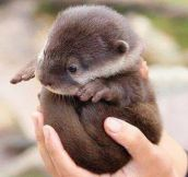 Just A Handful Of Otter