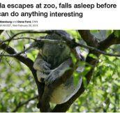 Koala Escapes