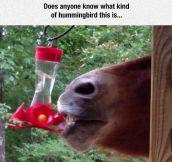 Hummingbird Breed