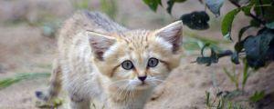 I Want A Sand Cat