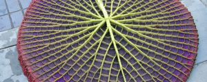 The underside of a water lily