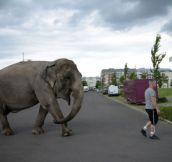 Elephant Maja of Circus Bush on his daily walk with Circus ringmaster Hardy Scholl on Berlin streets in Berlin, Germany