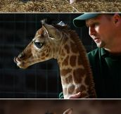 Margaret, The Baby Giraffe