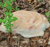 Rare White Fawn in the Forest