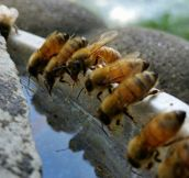 Thirsty Honey Bees getting relief from a birdbath
