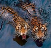 Two unwelcoming tigers