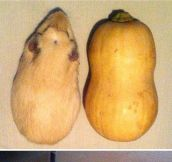 Guinea Pigs And Butternut Squashes Are Pretty Much The Same Thing