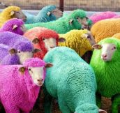 Freshly Dyed Sheep