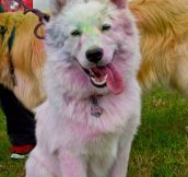 White Dog In A Color Run