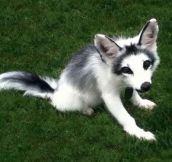 The Gorgeous, Fully Domesticated, Marble Fox