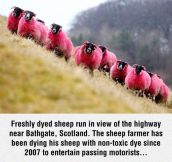 Not Your Average Type Of Sheep