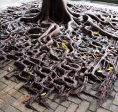 Tree Roots Spilling Over The Sidewalk