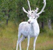 White Reindeer, Malå, Sweden.