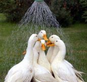Ducks taking shower together