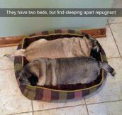 Pug Buddies