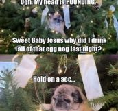 Confused Pug Wakes Up