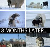 The Origin Of The Polar Husky