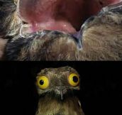 Ever Seen A Potoo?