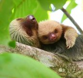 Sloth Snuggles