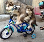 Cycling Huskies