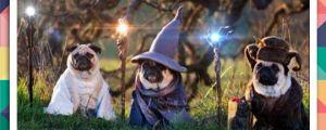 Wizard Pugs