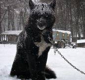 Glorious Black Wolf Hybrid