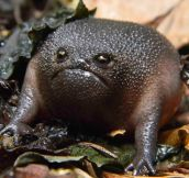 The Black Rain Frog Has A Hilarious Face