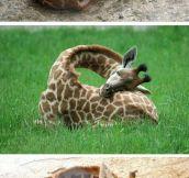 So This Is How Giraffes Sleep