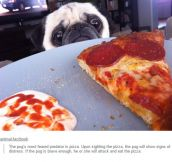 Pug Vs. Pizza