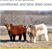 Incredibly Fluffy Cows