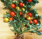 It's Possible To Create A Tomato-Potato Plant