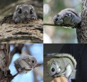 Japanese Flying Squirrels Look Unreal
