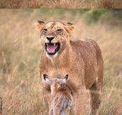 A Lioness Decides To Adopt A Baby Gazelle