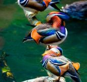 Majestic Mandarin Ducks
