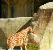 Ever Seen A Midget Giraffe?