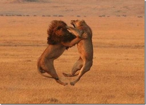 clip image0029 thumb 20 Perfectly Timed Photos of Animals Fighting