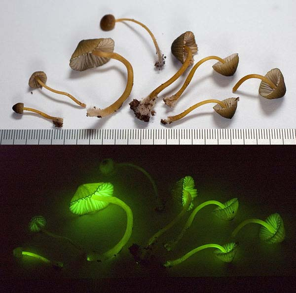 Bioluminescent Mushrooms  Foxfire Top 10 Light Emitting Creatures